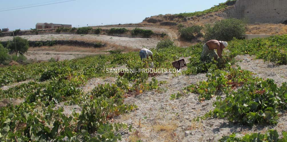 santorini-products-varieties-12